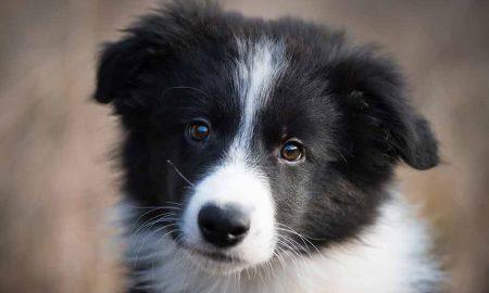باهوشترین نژاد سگ