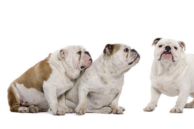 سگهای Bulldog به آب بازی و شنا هم علاقمند هستند ولی هرگز نباید آنها در آبهای عمیق رها کرد