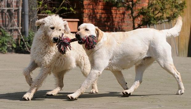 حلقه پلاستیکی، طناب نرم و یا هر اسباب بازی دیگر تهیه کنید. یک سر آن را با دست خود محکم بگیرید و یک سر دیگر را سگ با دهانش میگیرد. سعی کنید با کشیدن آن به سگ متوجه کنید که کشمکش زیادی بر سر آن دارید. شاید نسبت به نژاد سگ شما موفق شوید که اسباب بازی را به چنگ آورید ولی سعی کنید شما بازنده این بازی باشید.