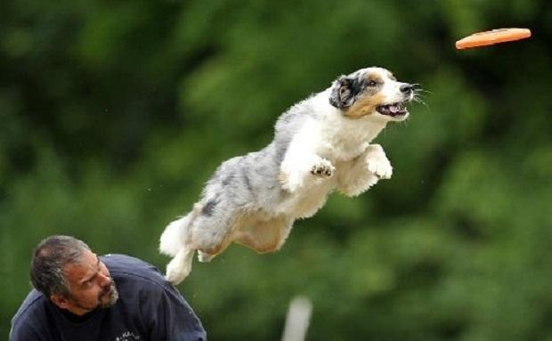 بشقاب پرنده یا در واقع Frisbee یک وسیله بازی بسیار مناسب برای سگ است.