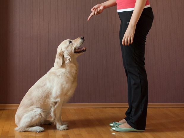 آموزش انتظار یا صبر به سگ میآموزد برای دریافت غذا و یا هر مسئله هیجان انگیز دیگر صبور باشد.