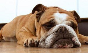 تنبل ترین نژاد سگ