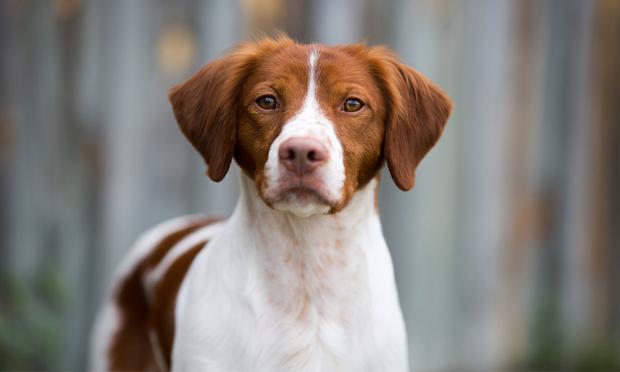 سگهای نژاد Brittany میبایست از دوران تولگی آموزشهای خاص خود را ببینند تا میانه خوبی با انسان و همچنین گربهها داشته باشند.