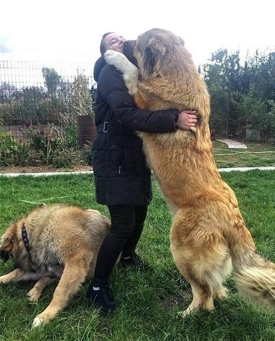 پس از پشت سر گذاشتن دوران توله سگی میبایست فعالیت سبک روزانه داشته باشند. معمولا سگهای قفقازی علاقمند هستند که در اطراف قلمرو زندگی خود قدم بزنند