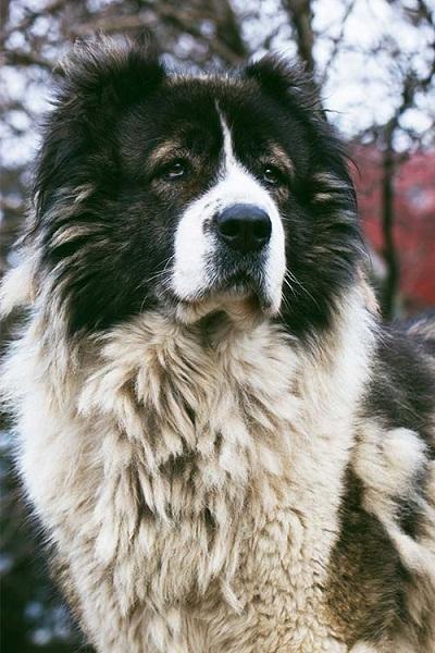 معمولا بهتر است که با قلاده جابه جا شوند اگر به راحتی تربیت میشوند ولی استقامت و قدرت این سگ زیاد است