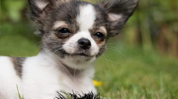 سگهای Chihuahua به قدری نسبت به صاحب خود وفادار هستند که آنها را به هر شخص و کار دیگری ترجیح میدهند.