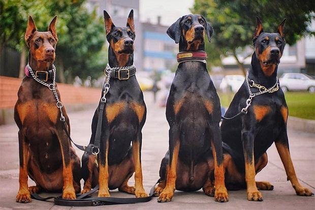 سگهای Doberman از جمله سگ هایی هستند که حتما میبایست در طول روز پیاده روی و ورزش داشته باشند.