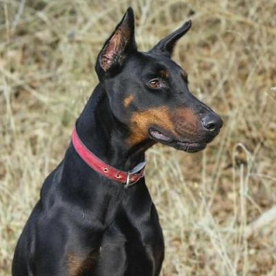 نژاد Doberman pinscher همان سگی است که با سایر حیوانات خانگی و همچنین کودکان به خوبی بازی میکند و کنار میآید.