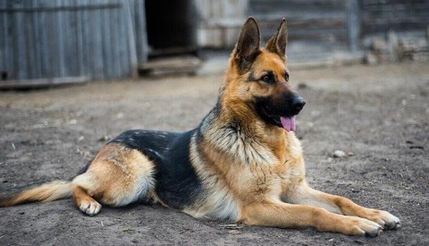 German shepherd را یک سگ عاشق واقعی مینامند که البته جای تعجب هم ندارد چرا که معمولا این نژاد به عنوان یک نگهبان کامل و بی نقص و همچنین محافظ صاحب خود به کار برده میشود.