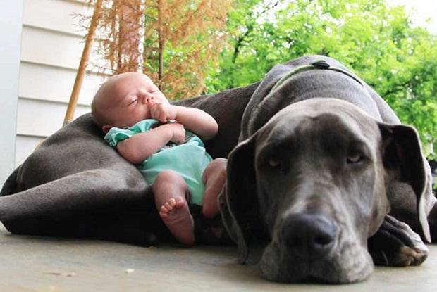 سگهای نژاد Great Dane وزن بالایی دارند و از آنها به عنوان غول یاد میشود. این سگها رابطه عاطفی بسیار خوبی با کودکان بر قرار میکنند