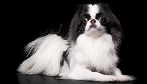 این نژاد سگهای متوسطی دارد و معمولا از این که با انسانها پیاده روی کنند لذت میبرند