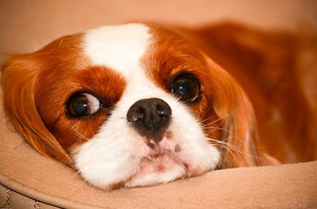 سگ نژاد King Charles Spaniel
