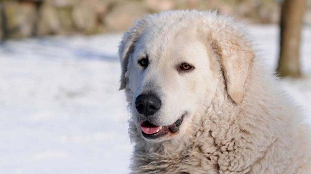 زندگی خانواده در کنار یک سگ Kuvasz بسیار شیرین و بی درد سر خواهد بود.