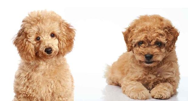 سگهای Poodle نژادی فرانسوی دارند که عاشق شکار هستند.