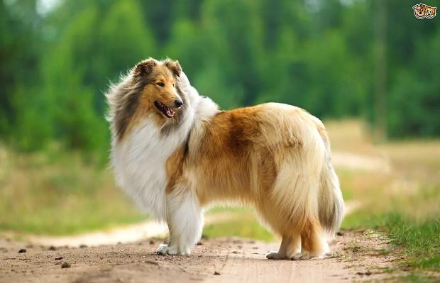 سگ نژاد Rough collie را کمتر کسی میشناسد. این نژاد بسیار مهربان میباشد و یکی از خصلتهای بارز او وفاداری است. ا