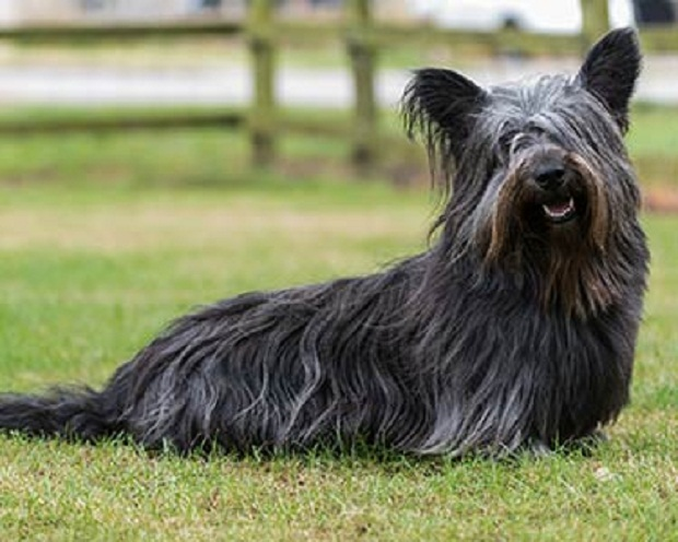 Skye terrier در کنار انسان بسیار آرام و مهربان رفتار میکند