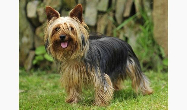 سگهای نژاد Yorkshire terrier نیز یک نژاد انگلیسی و وفادار هستند.