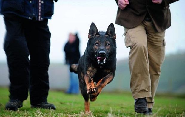 از آن جایی که سگهای German Shepherd معمولا برای نگهبانی و یا در تیمهای محافظتی به کار گرفته میشوند دارای غرایز محافظتی بسیار قوی هستند.