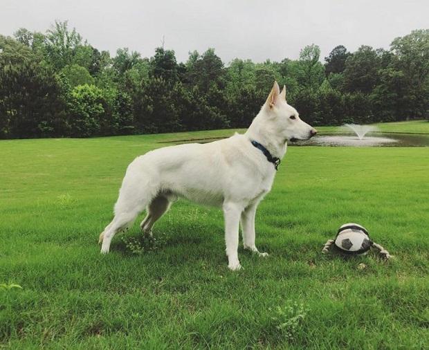شخصی که تصمیم به نگهداری از یک سگ نژاد German Shepherd دارد میبایست در اولین مرحله به فکر آموزشهای لازم برای این سگ باشد