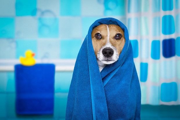 مهم ترین نکته این است که سگ هنگام استحمام احساس آرامش و خوبی داشته باشد. در صورتی که زمان استحمام این گونه نبود استحمام را به یک روز دیگر موکول کنید.