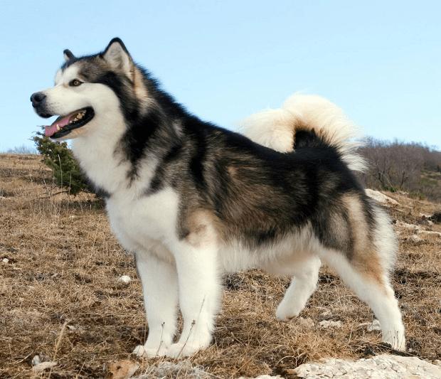 اضطراب جدایی در این سگ دیده میشود و میتواند در صورت پیشرفت به رفتار مخرب تبدیل شود