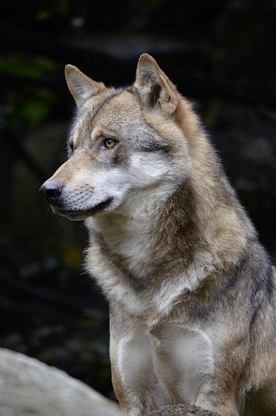 سگ Czechoslovakian Wolfdog
