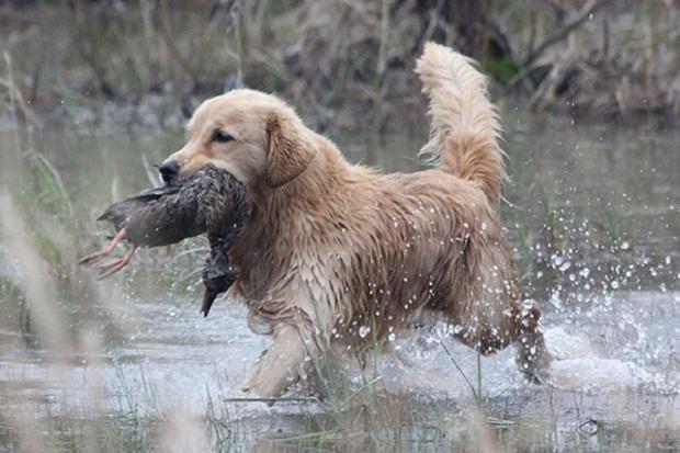 سگهای Golden Retriever در گذشتههای دور بیشتر از هر کاری جهت شکار پرندگان به خصوص اردک به کار گرفته میشدند