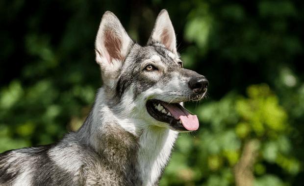 سگهای Inuit شمالی نژادی بر گرفته از گرگ دارند که طبق گمانه زنیها در دهه 1980 در انگلستان این سگها با نژاد مالموت و پیت بول و چوپان آلمانی ترکیب شده است و این نژاد به دست آمده است.