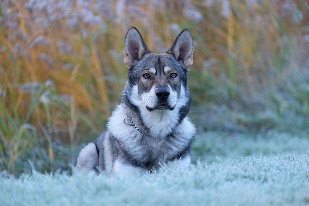 سگ Saarloos Wolfdog
