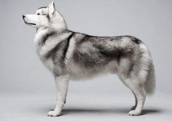 صاحبان این سگ میبایست توجه داشته باشند که سگ سیبرین هاسکی در مناطق سردسیر زندگی میکند و زندگی برای این سگها در مناطق گرم زیاد مناسب نخواهد بود