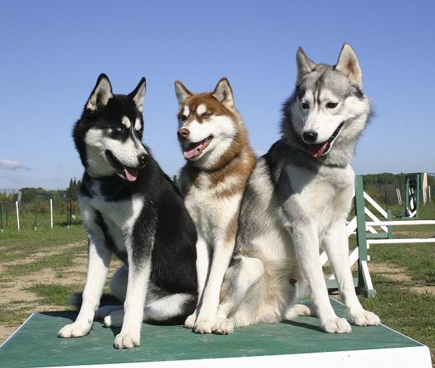 مامی سگهای این نژاد را با نام سورتمه کش سیبری میشناسند که در رنگهای مختلفی از جمله سیاه، سفید خالص، مسی و یا مخلوطی از این رنگها وجود دارند