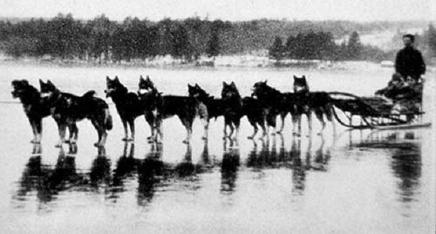 در سال 1925 شخصی ورزشکار به کمک یک سگ سیبرین هاسکی بعد از پنج روز توانست در آلاسکا زنده بماند.