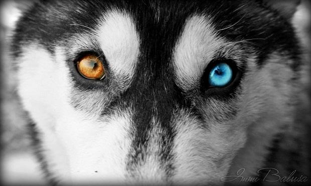 به طور معمول بیشتر سگهای Siberian Husky چشمانی رنگی دارند. رنگ هایی مانند عسلی و آبی در این نژاد به وفور یافت میشود. البته گاهی دربرخی از این سگها مشاهده میشود که هر کدام از چشمها یک رنگ خاص دارند و این موضوع در زیبایی ظاهری سگ تاثیر فراوان دارد.