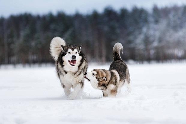 سگ سیبرین هاسکی علاوه بر این که با سایر انسانها به خوبی رابطه برقرار میکند در کنار دیگر سگها نیز به خوبی رشد کرده و زندگی میکند