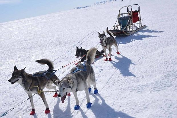 سگهای نژاد Siberian Husky سالیان زیادی است که نقش سورتمه رانان قدرتمند را ایفا میکنند.