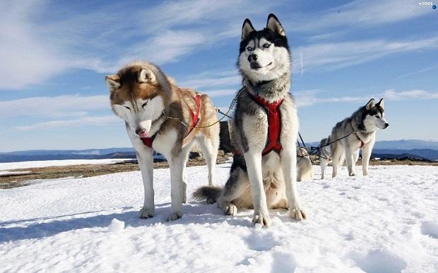 سگ سیبرین هاسکی را همه به نام سگ اسکیموها و سگهای سیبری میشناسند