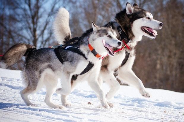 در حدود 20 درصد از کل تغذیه این سگ در طی فصول گرم، پروتئین است. در حالی که در فصول سرد مانند زمستان که فعالیت این سگ نیز بیشتر است به پروتئین بیشتری نیاز دارد و این میزان چیزی در حدود 32 درصد از کل تغذیه این نژاد سگ میباشد. سگ سیبرین هاسکی در بین نژادهای مختلف سگها به تمیز ترین سگ معروف میباشد.