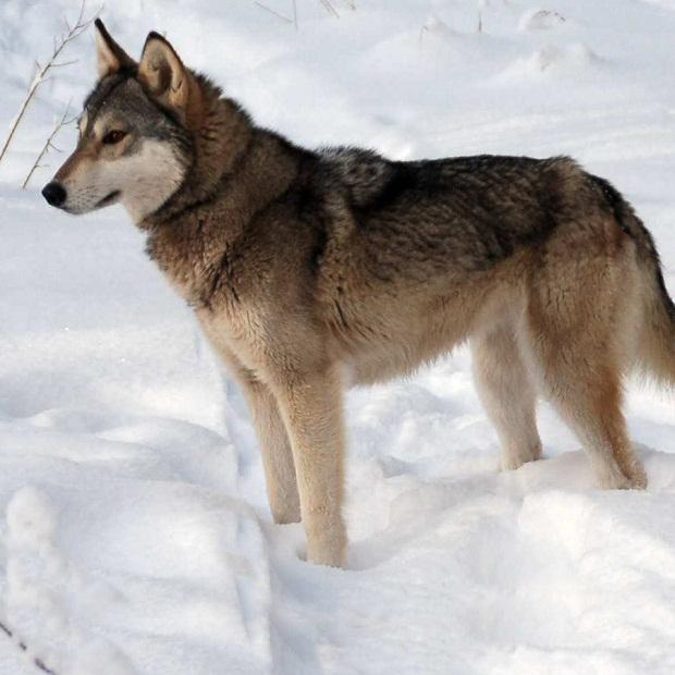 سگهای Tamaskan به طور خاص پرورش داده میشوند تا شباهت زیادی به سگهای گرگی پیدا کنند