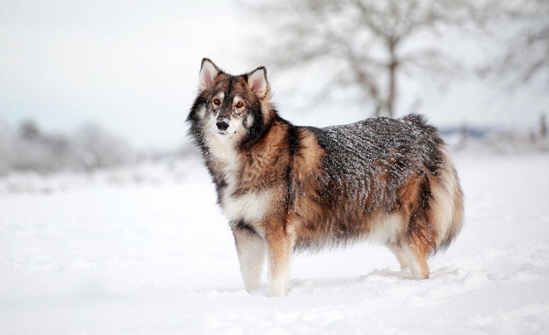 سگ Utonagan