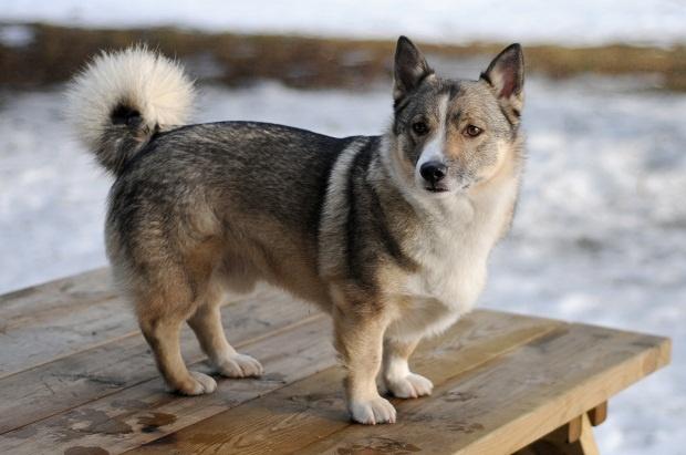 سگ Vallhund در واقع نژادی از Herding Dog میباشند که اصطلاحا اشارهای به گاوهای سوئدی نیز دارد.