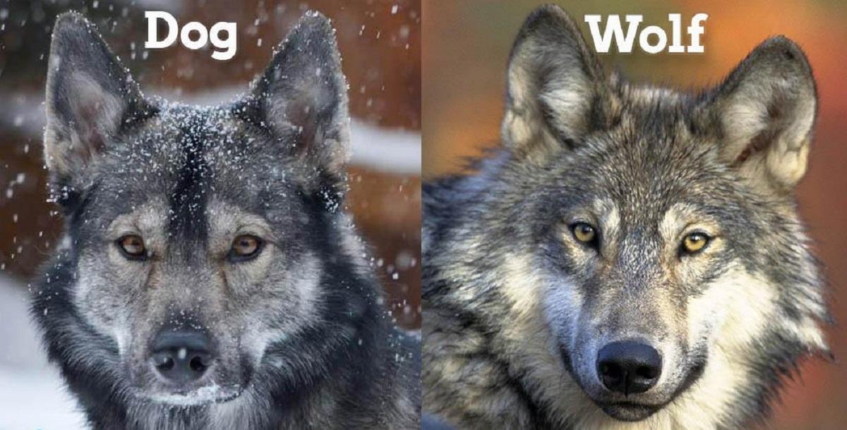 dogvswolf