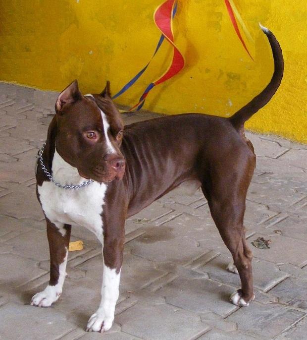 کسانی میتوانند از یک سگ پیت بول به خوبی نگهداری کنند که زمان کافی برای آموزش این سگ داشته باشند.