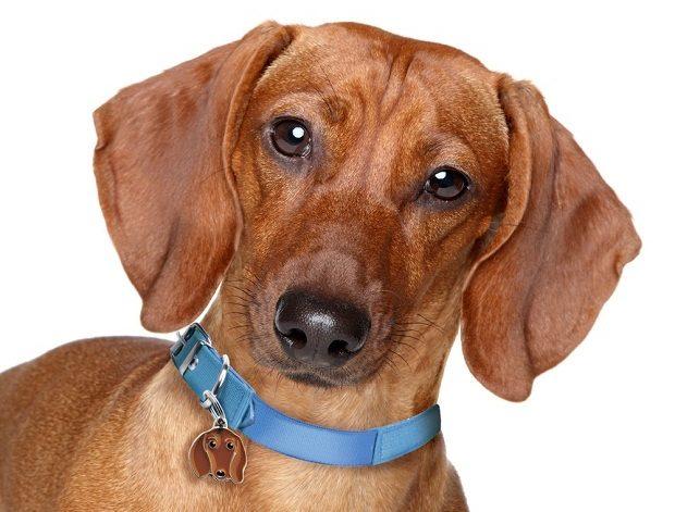 معمولا در بازی با یک Dachshund این شما هستید که به فرمان او در میآیید نه آن که سگ شما را دنبال کند