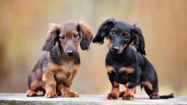 سگهای Dachshund علاقه زیادی به انجام یک مسئولیت دارند. این سگها را در موقعیت هایی از بازیهای مختلف قرار دهید که بتوانند یک کار را به صورت کامل انجام دهند.