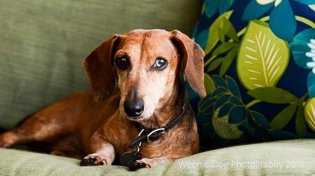 سگهای Dachshund به دلیل داشتن قفسه سینه کوتاه و ستون فقرات طولانی مستعد ابتلا به برخی مشکلات هستند