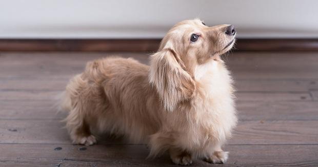 چهره سگ داشهوند به سختی فراموش میشود، بدن طویل و کوتاه قوی و عضلانی آن بر خلاف ظاهر چهارچوب بدنی اش، کاملاً در تعادل است